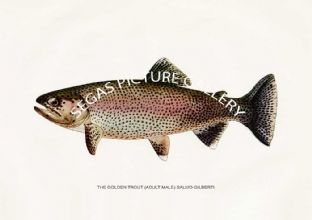 Golden Trout (Adult Male) Salmo-Gilberti